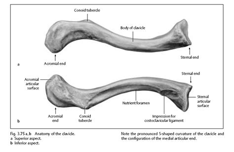 diagram of the clavicle human anatomy all of these diagrams clavicle anatomy
