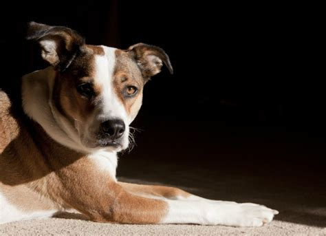 symptoms of chocolate poisoning in dogs hetamine poisoning in dogs petmd