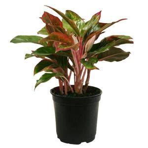delray plants aglaonema creta in 6 in pot 6agcreta the
