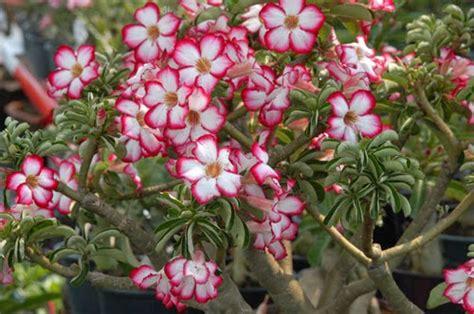 Pupuk Untuk Bunga Cempaka aneka tanaman hias