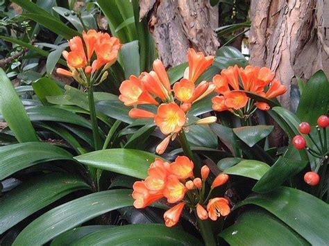 clivea miniata an easy care flowering houseplant hubpages plantfiles pictures clivia species bush lily fire lily