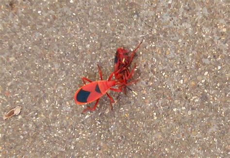 Predatory Red Bugs From India Antilochus Conqueberti What S That Bug