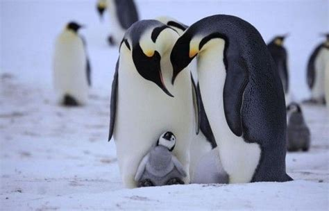 understanding a photograph penguin 0141392029 cute baby penguins cute baby penguins xinhua english news cn things i love