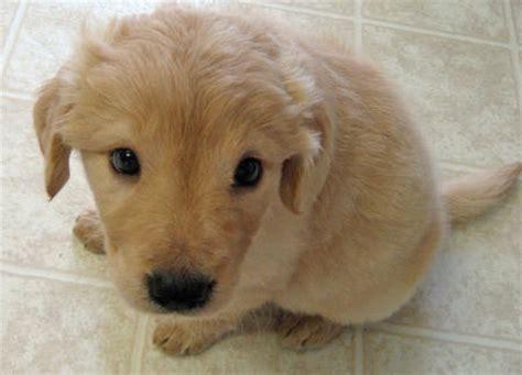 golden mix puppies laika the golden retriever mix puppies daily puppy