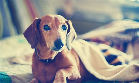 hypercalcemia in dogs hypercalcemia in dogs and cats clinician s brief