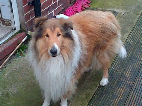 collie puppy for sale collie for sale lydbrook gloucestershire pets4homes
