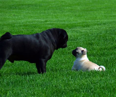 black and fawn pug about pug page 2 of 51 pugs pugs pug stories all pugs