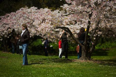 tree swing san francisco cherry blossom viewing season is in full swing in san