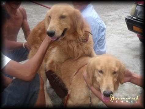 golden retriever puppies for sale in ta for sale golden retriever puppies summer page 2