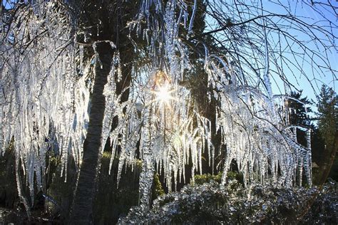 icicles hanging from tree branches photograph by craig tuttle