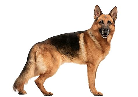how many puppies can a german shepherd german shepherd breed information characteristics facts petcoach