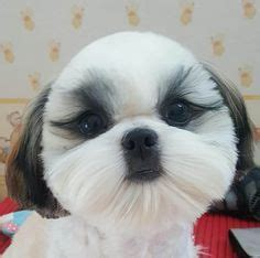 best way to potty a shih tzu 17 best ideas about pics on pictures of dogs