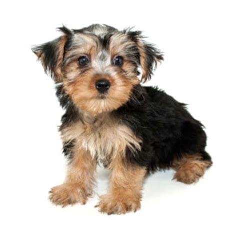 what is a morkie puppy morkie breed 187 everything about morkies