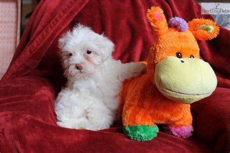 teacup havanese price olaf havanese puppy for sale near atlanta 65ce0328 f651