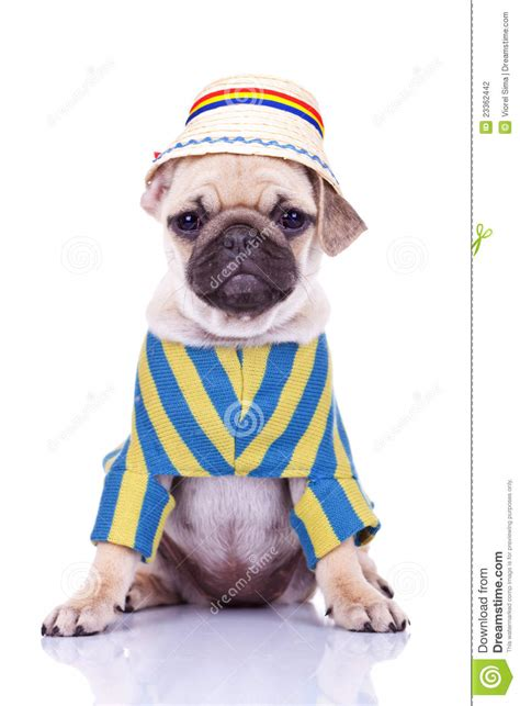 pug puppy clothes pug puppy wearing clothes stock photography image 23362442