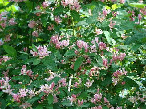 best flowering shrubs for sun gardening landscaping pink flowering of shrubs for