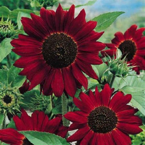Velvet Garden Flowers 25 Best Ideas About Sunflowers On Sunflower Bouquets Sunflowers And Roses And