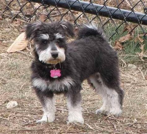 shih tzu cross schnauzer 27 pekingese cross breeds you to see to believe