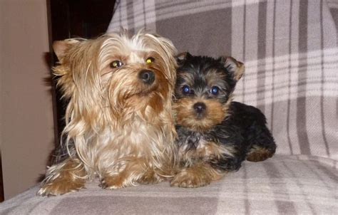 smallest yorkie on record small yorkie puppy camelford cornwall pets4homes