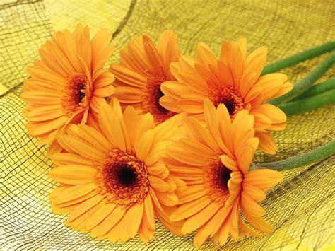 gerbera flowers yellow hd wallpaper wallpaperscom