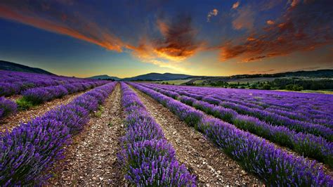 tapete lavendel lavender wallpapers wallpaper cave