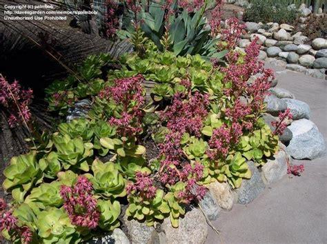 plantfiles pictures echeveria species echeveria pallida