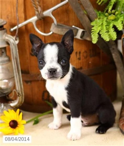 boston terrier puppies pa 25 best ideas about baby boston terriers on boston terrier puppies