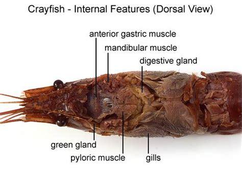 crayfish diagram aqua fanatic crayfish anatomy