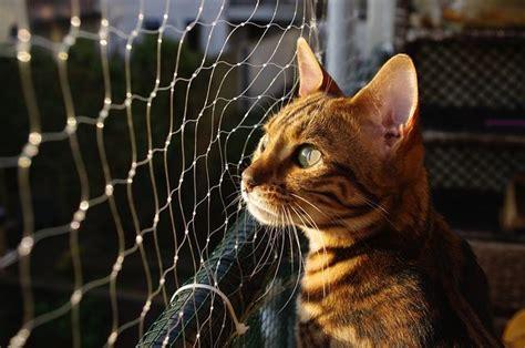 Bantal Klaten leopardette bengal katze rasseportrait markt de