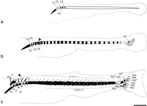 pattern formation notochord vertebral column zebrafish vertebral column