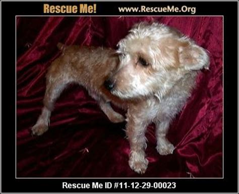 paws yorkie rescue paws yorkie rescue rogers ar rescue animals