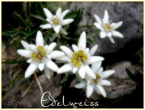 fiore stella alpina edelweiss stella alpina