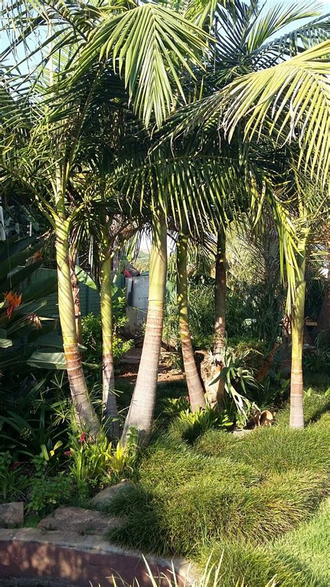 California Backyard Trees by 17 Best Privacy Screens Images On