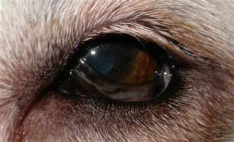 uveitis in dogs a differential list of one veterinary ophthalmology