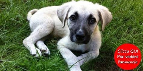 canile pavia cuccioli regalo cani meticci in regalo finest with cani meticci in regalo
