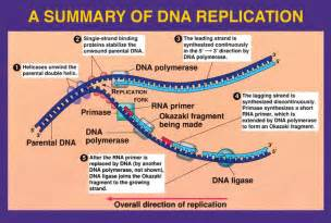 What Acts As The Template In Dna Replication by Dna Replication Home