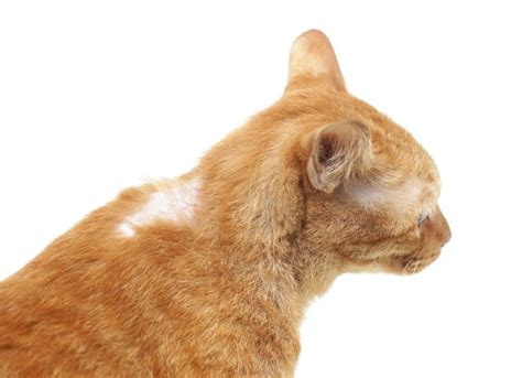 cat hair hair loss related to cancer in cats petmd