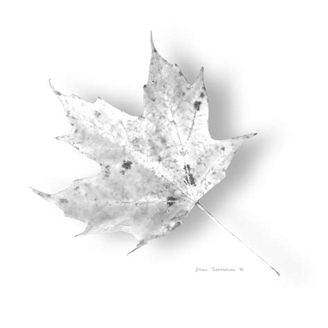 pure white maple leaf photograph by john stephens