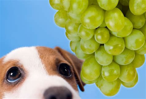 dogs eat grapes toxic and dangerous foods your should never eat