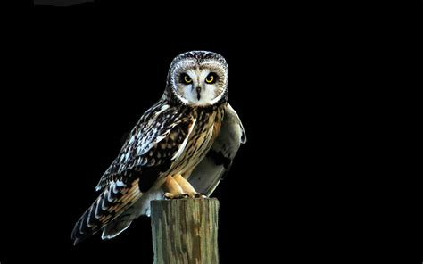 Black Owl Home black owl hd wallpaper animals wallpapers