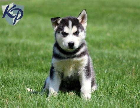 Husky D Detox by 1000 Ideas About Husky Puppies For Sale On