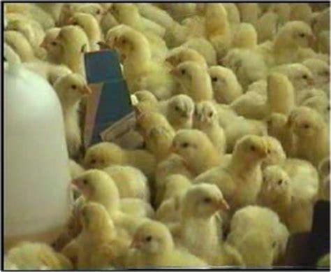 Bibit Ayam Ras Pedaging distributor nasa blitar budidaya ayam pedaging broiler
