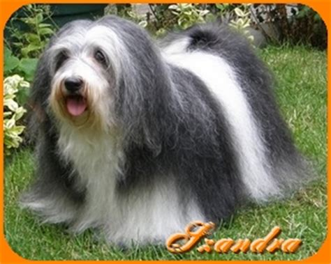 how much do havanese dogs weigh havanese breeder dandy warrior havanese dogs havanese overview