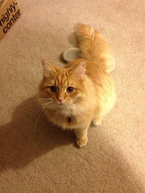 ragdoll orange 20 most adorable orange siberian cat images and photos