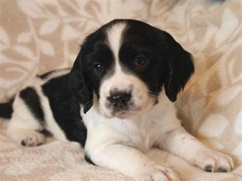 bench springer spaniel puppies for sale 100 bench springer spaniel puppies for sale cedarwood springer