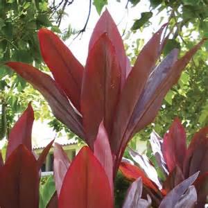 Types Of Garden Soil - red dracaena hawaiin ti cordyline red sister dracaena