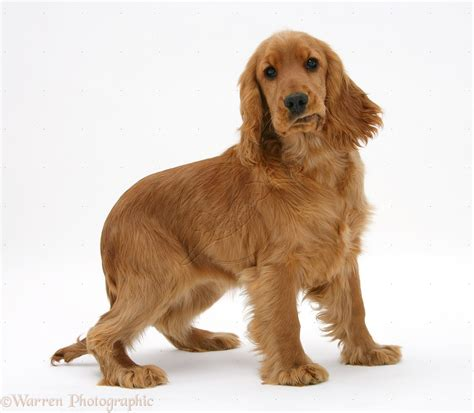 English Cocker Spaniel Breed Guide - Learn about the ...
