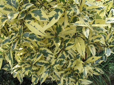kommode 80x80x30 gardenia variegated plantnursery gardenia variegated