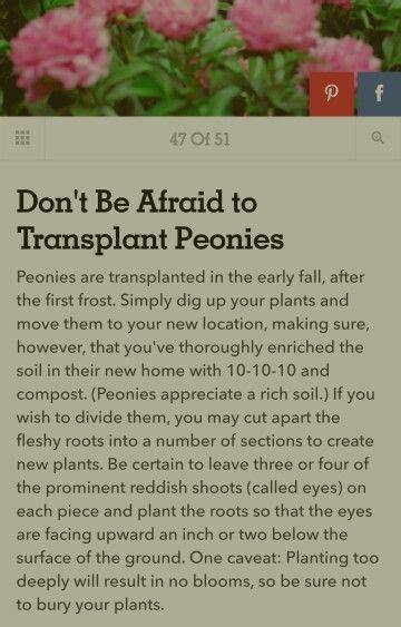 transplant peonies in autumn barn garden pinterest