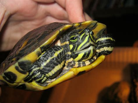 Yellow Belly nw yellow belly slider reptile forums